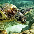Green Sea Turtle by Michael Peychich