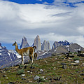 Guanacos In Torres Del Paine by Michele Burgess