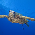 Hawaii, Green Sea Turtle by Dave Fleetham - Printscapes