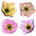 Hellebore Flowers, X-ray by Ted Kinsman