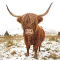 Highland Cow by Grant Glendinning