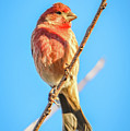 House Finch Tiny Bird Perched On A Tree by Alex Grichenko