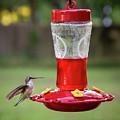 My Sweet Hummingbird by Denis Lemay