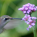 Hungry Hummingbird by Robert E Alter Reflections of Infinity