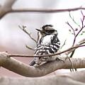 Img_0001 - Downy Woodpecker by Travis Truelove