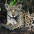 Jaguar Panthera Onca, Pantanal by Panoramic Images