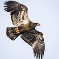 Juvenile Bald Eagle  by Ricky L Jones