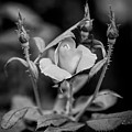 Knockout Roses Painted Bw by Rich Franco