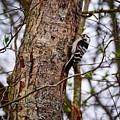 Lesser Spotted Woodpecker by Jouko Lehto