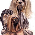 Lhasa Apso Triple by Barbara Keith