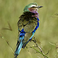 Lilac-breasted Roller by Michele Burgess
