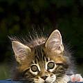 Maine Coon Kitten by Jean-Louis Klein & Marie-Luce Hubert