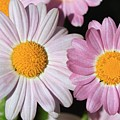 Marguerite Daisy Named Petite Pink by J McCombie