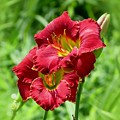Red Lily Pair by MTBobbins Photography