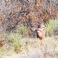 Mule Deer Doe by Steve Krull