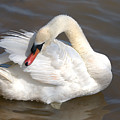 Mute Swan Grooming In Shallow Water by Roy Williams