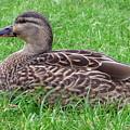 New Zealand - Female Mallard Duck by Jeffrey Shaw