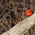 Northern Cardinal by Michael Munster