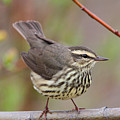 Northern Waterthrush by Doug Lloyd