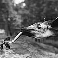 Okapi by Granger