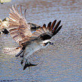 Osprey by Victor Alcorn