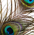 Peacock Feathers by Mary Van de Ven - Printscapes