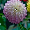 Pink Dahlia by Paul Slebodnick