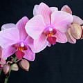 Pink Orchids by Bruce Beck
