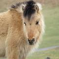 Pony On Dartmoor by Linda Whitaker