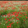 Poppy Fields Of Saaremaa by Aivar Mikko
