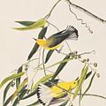 Prothonotary Warbler by John James Audubon