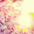 Purple Spring Lilac Flowers Blooming Close-up by Michal Bednarek