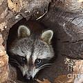 Raccoon Procyon Lotor by Ted Kinsman