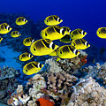 Racoon Butterflyfish by Dave Fleetham - Printscapes