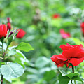 Red Roses Garden Spring Season by Goce Risteski