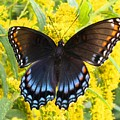 Red-spotted Purple by Kathryn Meyer