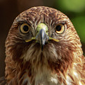 Red Tailed Hawk by Andrew Reinhart