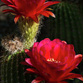 Red Torch Cactus  by Saija Lehtonen