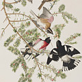 Rose-breasted Grosbeak by John James Audubon