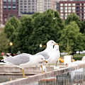 3 Seagulls In A Row by Cynthia Woods