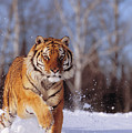 Siberian Tiger by John Hyde - Printscapes