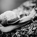 Snail Crawling On The Stone Artmif by Raimond Klavins