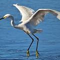 Snowy Egret In Flight by Paulette Thomas