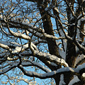Snowy Trees Against A Blue Sky by Kerstin Ivarsson