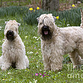 Soft-coated Wheaten Terriers by Jean-Louis Klein & Marie-Luce Hubert