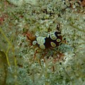 Squat Anemone Shrimp by Nina Banks
