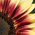 Sunflower Named Ruby Eclipse by J McCombie