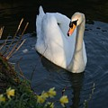 Swan Lake Story by Valia Bradshaw