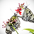 The Extraordinary Rice Paper Butterfly A Series by Darby Donaho