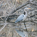 The Great Blue Heron by William Rogers